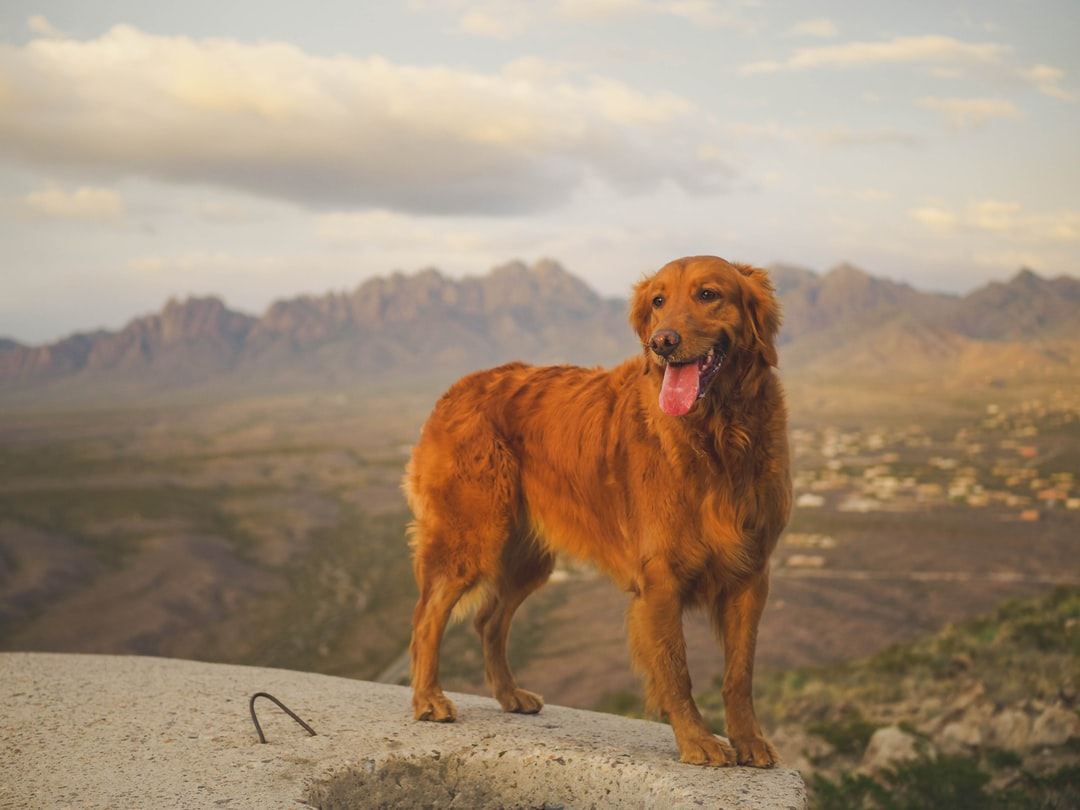 A large brown dog standing on top of a mountain
